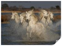 Camargue Horses running in water, Print