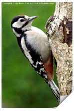 Greater Spotted Woodpecker, Print