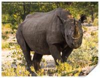 Namibian Black Rhinoceros , Print