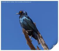 Greater Blue-eared Glossy Starling, Print