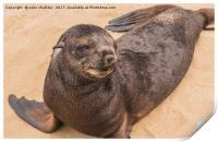 Fur Seal Basking at Cape Cross, Print
