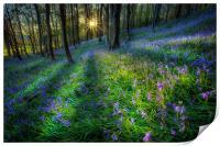 Bluebell sunset at Margam woods , Print