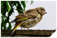 Young Greenfinch visitor, Print