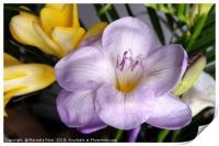 open violet freesia, Print