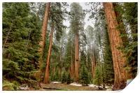 Sequoias in the Fog, Print