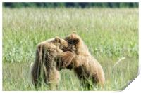 Brown Bear Cubs - Wrestling Match, Print