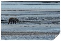 Brown Bear Looking For Clams, Print