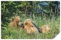 Triplet Bear Cubs Nursing, No. 1, Print