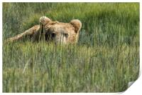 Being Watched by a Big Brown Bear, Print