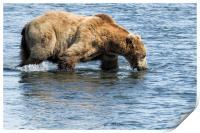 Brown Bear Going for a Dip, Print