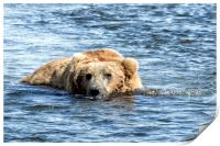 Brown Bear Cooling Off, Print