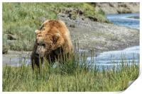 Brown Bear After His Dip, Print