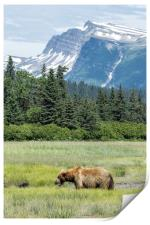 Male Brown Bear at Lake Clark NP, Print