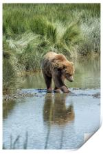 Brown Bear Cub Crossing a Stream, Print