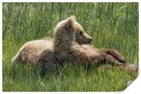 Settling Down Again - Bear Cubs, No. 6, Print