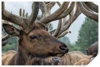Elk and Antlers, Print