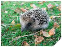 Young Hedgehog, Print