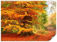 Beech Woodland in Autumn, Print