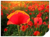 Bright Red Poppy in the Sun, Print