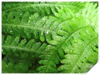 Green Bracken with  Raindrops, Print