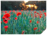 Poppies in Green Corn, Print