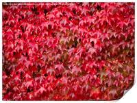Boston Ivy in Autumn, Print