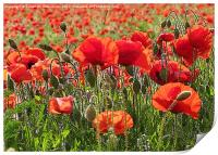 Red Poppy Art, Print