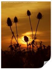 Teasel Sunset, Print