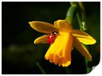 Ladybird on Daffodil in Sunshine, Print
