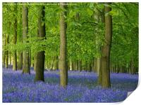Bluebells in Hertfordshire, Print