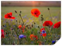 Poppies and cornflowers in evening sun, Print