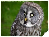Glancing Alaskan Owl, Print