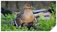 Mallard and Ducklings , Print