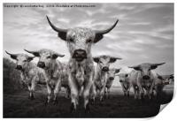 Highland Cattle Mixed Breed Mono, Print