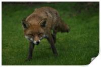Wild Red Fox, Print