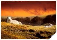 Highland Sheep, Print