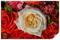 White Rose, Print