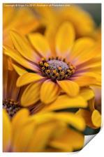 Osteospermum closeup, Print