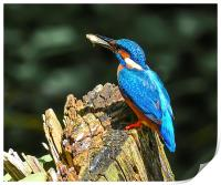 kingfisher, Print