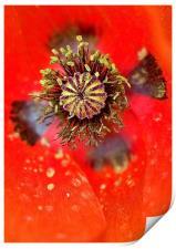 Poppy Head macro, Print