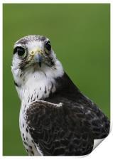 Peregrine Falcon, Print