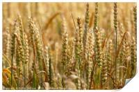 Wheat Field, Print