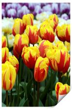 Red and Yellow Tulips, Print