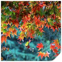 Rainy Autumn Acer at Westonbirt, Print