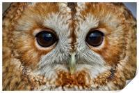 Tawny Owl Portrait, Print