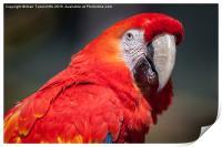 Scarlet Macaw, Print