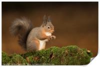 Red Squirrel portrait, Print