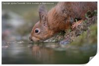 Thirsty red squirrel , Print