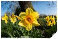 Daffodils in the sun, Print