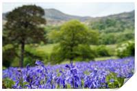 Snowdonia Bluebells, Print